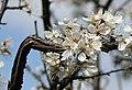 Blackthorn in flower - Prunus spinosa - geograph.org.uk - 161040.jpg