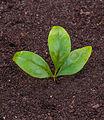 Bladeren van Nandina domestica Locatie, Tuinreservaat Jonkervallei 01.jpg