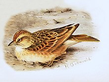 Blanford's Lark from Grönvold The Birds of Africa.jpg