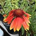Blanketflower - Gaillardia aristata IMG 7407.jpg