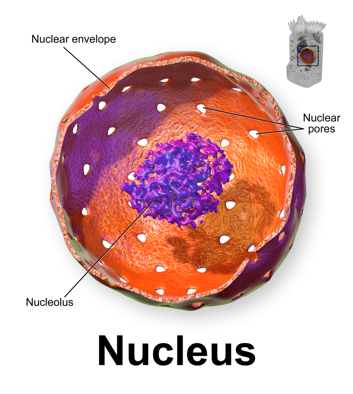 nucleolus - wikipedia, Human body