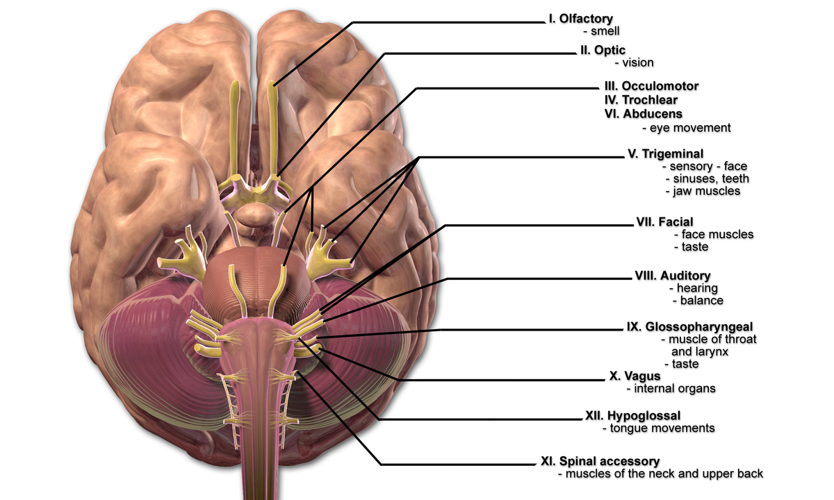 Interior Brain Diagram Of Cranial Nerves - Circuit Connection Diagram •