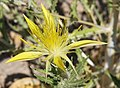 Blazing star Mentzelia laevicaulis close asym.jpg