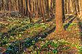 Bledule jarní v PR Králova zahrada 67.jpg