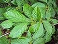 Blepharistemma serratum at Periya (5).jpg