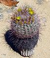 Blooming Barrel Cactus.jpg