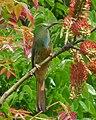 Blue-bearded Bee-eater-Nyctyornis athertoni.JPG