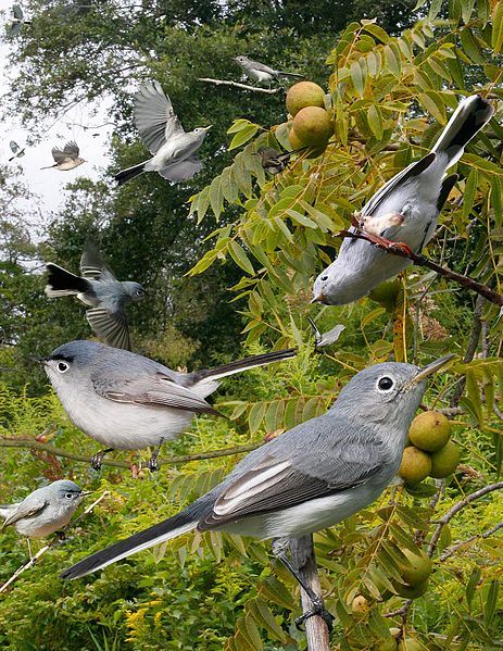 File:Blue-gray Gnatcatcher From The Crossley ID Guide Eastern Birds.jpg