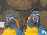 Blue-throated Macaws 04.jpg