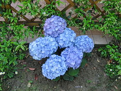 definition of hydrangea
