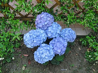 PH indicator - Image: Blue Hydrangea