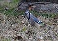 Blue Jay (33301616976).jpg