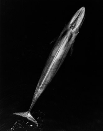 Blue whale - Adult blue whale