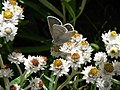 Blue butterfly on Pearly everlasting (00a9b9de16794acca21d5cb95ce10683).JPG