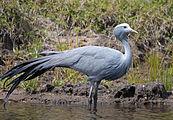 Blue crane SA.jpg