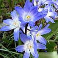 Blue flower macro (8603068762).jpg