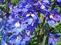 Blue flowers in May.JPG
