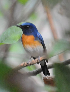 Blue throated flycatcher thattekadu.jpg