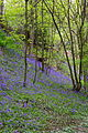 Bluebell Wood (3472865241).jpg