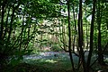 Bluebells in the woods, Tower Rd - geograph.org.uk - 1289472.jpg