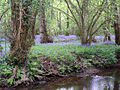 Bluebells on the western bank of the Lymington River, New Forest - geograph.org.uk - 170812.jpg