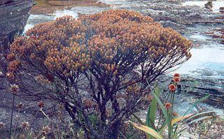 Bonnetiaceae