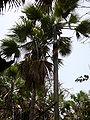 Borassus aethiopum 0018.jpg