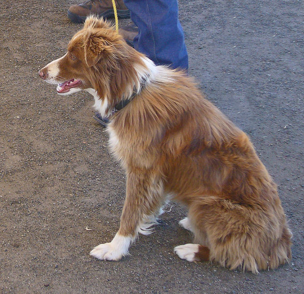 Plik:Border Collie red.jpg