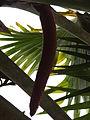 Botanical Garden of Peradeniya 84.JPG