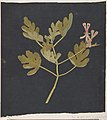 Botanical Study MET DP801159.jpg