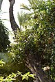 Bougainvillea glabra 'Alba' su una Phoenix dactylifera (jardin Majorelle).JPG