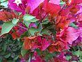 Bougainvillea glabra of Bangladesh 02.jpg