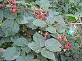 Braam vruchten Rubus fruits 'Thornfree'.jpg