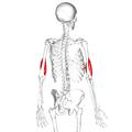 Brachialis muscle09.png