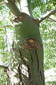 Brachychiton rupestris - Leaning Pine Arboretum - DSC05432.JPG