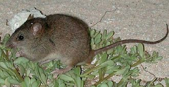Bramble Cay melomys were declared extinct in June 2016. This is the first recorded mammalian extinction due to anthropogenic climate change. Bramble-cay-melomys.jpg