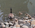 Branta canadensis Redwood Shores May 2011 002.jpg