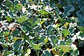 Brassica oleracea Packman 2zz.jpg