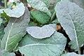 Brassica oleracea Tuscano 0zz.jpg