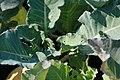 Brassica oleracea var. botrytis Snow Crown 2zz.jpg