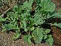 Brassica oleracea var. gongylodes 001.JPG