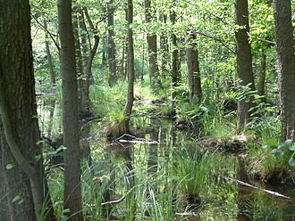 Swamp - A black alder swamp in Germany.