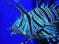 Broadbarred Firefish.jpg