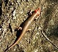 Broadhead Skink (Eumeces -Plestiodon- laticeps) (37594986905).jpg