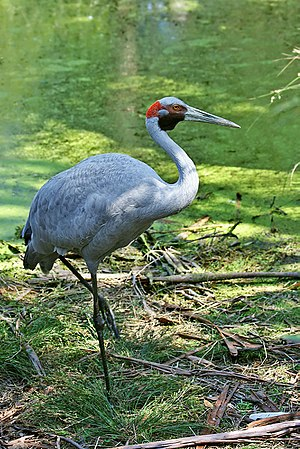 English: Brolga (Grus rubicunda) at Healesvill...