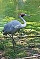Brolga-1-Healesville,-Vic,-3.1.2008 edit.jpg