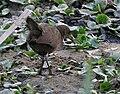 Brown Crake (Amaurornis akool) near Hodal, Haryana W IMG 6374.jpg