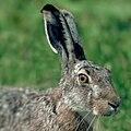 Brown Hare, Hungary; analog photo 1983 slide scan.jpg