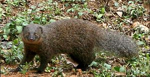 Mongoose - Indian brown mongoose, Herpestes fuscus