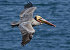 Brown pelican in flight (Bodega Bay).jpg